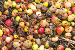 Very rotten green, yellow and red apples Stock Image