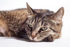 Very sad cat. Lies on a white background stock images