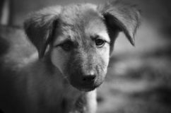 Very sad eyes in such a cute puppy. Monochrome portrait royalty free stock photo