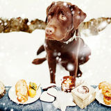 Very Sad Labrador and Holiday Treats Stock Photos