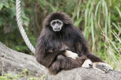 A very sad looking Gibbon. A white hand Gibbon sitting on a rock. It looks sad, like it's comtemplating some bad news. Many Gibbons come from Southeast Asia stock photo