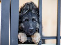 Free Very Sad Puppy In Shelter Cage Royalty Free Stock Images - 55132079