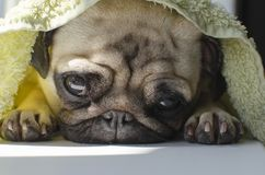 Very sad small dog breed pug lying under towel and shaping Royalty Free Stock Images