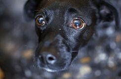Free Very Sad Small Dog Breed Scared Of Camera Staring At His Owner With Fear, Hiding Under Table Stock Photo - 183309710
