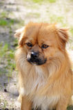 Very serious dog Royalty Free Stock Images