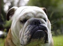 Very serious English bulldog with a white muzzle. A Bulldog is a medium-sized breed of dog commonly referred to as the English Bulldog or British Bulldog stock photography