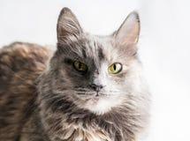Very serious gray cat looking at camera Royalty Free Stock Image