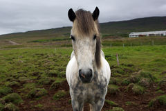 Very serious icelandic horse looking into the camera Royalty Free Stock Photography