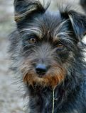 Very Shaggy Dog 9. A portrait of the very shaggy small dog with intent look royalty free stock photo