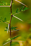 Very Sharp and long thorn on a thin Vachellia nilotica plant ste Royalty Free Stock Image