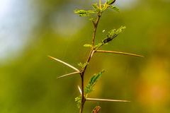 Very Sharp and long thorn on a thin Vachellia nilotica plant ste Royalty Free Stock Photography