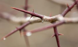 Very sharp spines on a bush branch in early spring Stock Photography