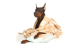 Very sick dog under a blanket Stock Image