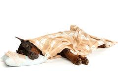 Very sick dog under a blanket Royalty Free Stock Photography