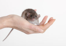 Very small baby rat. On a human hand Royalty Free Stock Photo