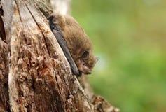 Free Very Small Bat Common Pipistrelle Pipistrellus Pipistrellus Royalty Free Stock Image - 163527416