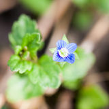 Very small blue wild flower Stock Image
