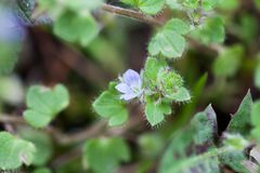Very small blue wild flower Royalty Free Stock Photo