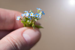 A very small bouquet of forget-me-nots in the hands of a young woman. Tiny forget-me-nots, close-up Stock Photo