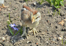 Very small chicken 18 Stock Photography