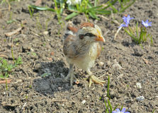 Very small chicken 24 Stock Photo
