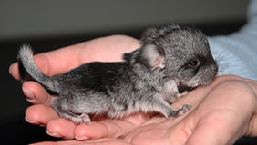 Very small Chinchilla Stock Image
