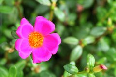 Very small Common Purslane blooming. Very small Common Purslane blooming in the garden Royalty Free Stock Image