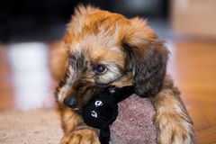 Cute puppy of briard dog with sheep toy. Stock Photography