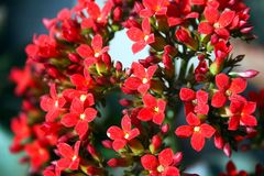 Very small delicate red Madagascar widow`s thrill flower in close up stock photos