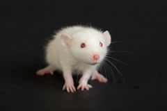 White baby rat. Very small domestic rat on a black background Stock Image