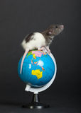 Rat on the globe. Very small domestic rat on the globe Stock Photography