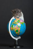 The whole world beneath me. Very small domestic rat on the globe Royalty Free Stock Image