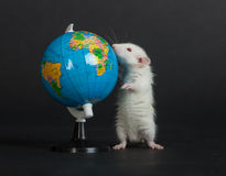 Route selection. Very small domestic white rat studies globe Stock Images