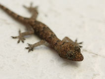 Very small gecko macro shot Royalty Free Stock Photography