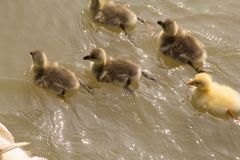 Very small Greylag goslings swimming in a lake royalty free stock image