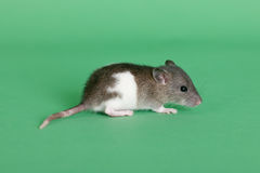 Very small infant rat. On a green background Royalty Free Stock Image