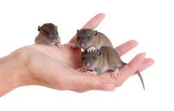 Very small infant rats. On a palm Stock Photos