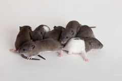 Very small infant rats. On a white background Royalty Free Stock Photos