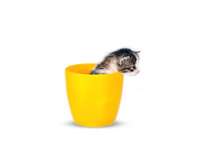 Very small kitten in pot on a white background in studio. Royalty Free Stock Photography