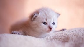 Little kitten on the pillow Stock Photography