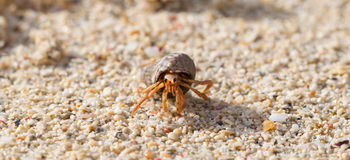 Very small lobster in a small shell Stock Photography