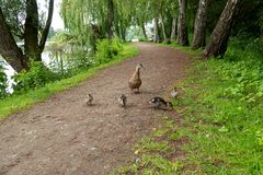 A very small mallard ducklings walk along the path along the lake royalty free stock image