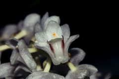 Very small orchid flower. Close up of a very small of a orchid flower Stock Photos