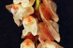 Very small orchid flower. Close up with macro lens Royalty Free Stock Image