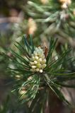 Very small pine cone. Russia Royalty Free Stock Photo