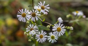Very small white autumn daisies bloom in winter. Selective focus in the foreground. Bouquet on a background of blurred greens stock photo
