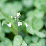 Very small wild flower Stock Photos