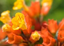 Very small yellow and red flowers in a garden in macro stock photos