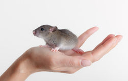 Very small young rat. On a palm Royalty Free Stock Photos
