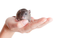 Very small young rat. On a palm, isolated Royalty Free Stock Images
